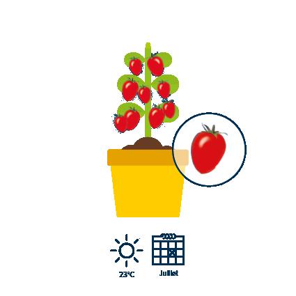 560 jours après l'apparition des fleurs, les tomates sont mûres et de couleur rouge
